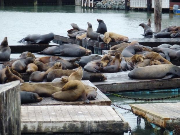 Les otaries du Pier 39, dans le Fisherman's Wharf (quartier des pêcheurs). Totalement libres, elles sont venues coloniser le ponton il y a une 15aine d'années après un tremblement de terre