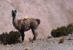 Animals - Argentine - Purmamaca