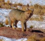 Animals - Chili - Atacama (2)
