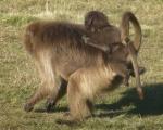 Animals - Ethiopie - Simien Mountains (1)