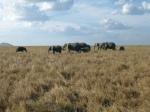 Animals - Tanzanie - Safari (14)
