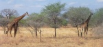 Animals - Tanzanie - Safari (3)