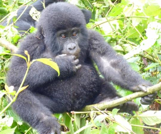Top 3 Animals - Bwindi (2)