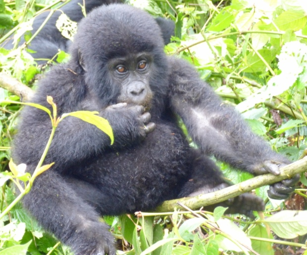 Top 3 Animals - Bwindi (2)