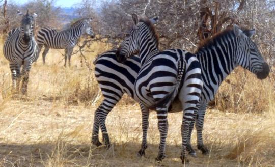 Top 3 Animals - Serengeti (4)